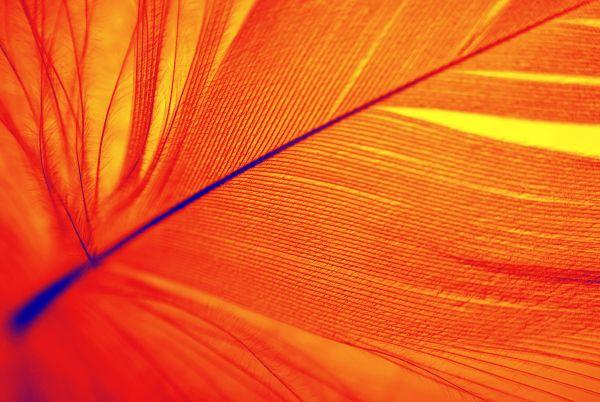phoenix feather
